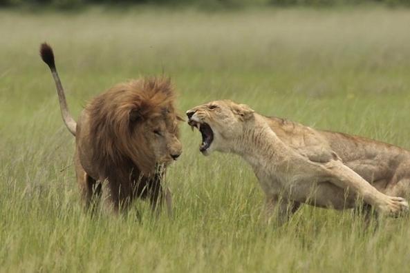 aggressive-lioness-4219-1241643089-8